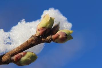 halesia-carolina-silverbell-buds-in-snow-closeup-winter-10
